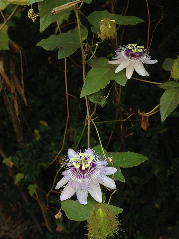Oahu passion flowers